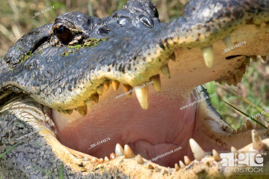 Stock Photo: Open mouth and teeth of American alligator (Alligator mississippiensis), Brazos Bend State Park, Needville, Texas, USA.