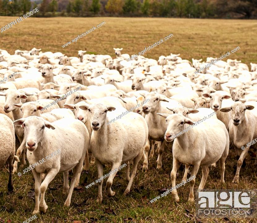 Stock Photo: A flock of sheep in a pasture, Katahdin breed.