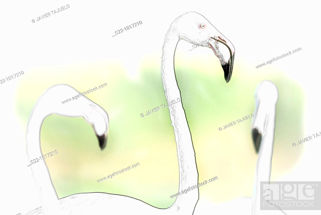 Stock Photo: Greater Flamingo, Phoenicopterus ruber.