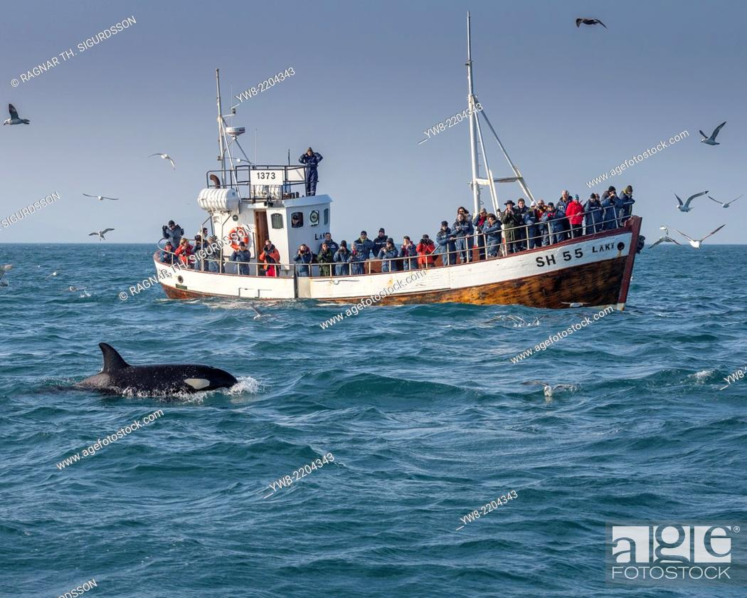 Stock Photo: Orca Whale and Whale Watching Boat, Grundarfjordur, Snaefellsnes Peninsula, Iceland.