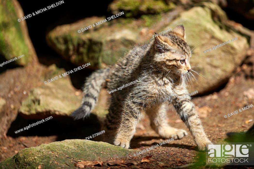 Imagen: Close-up of European wildcat (Felis silvestris silvestris) kitten in spring in the Bavarian forest, Germany.