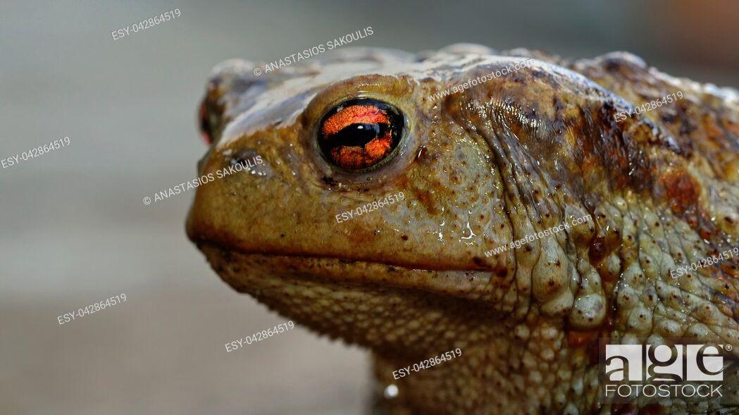 Stock Photo: Common (Toad Bufo bufo), Greece.