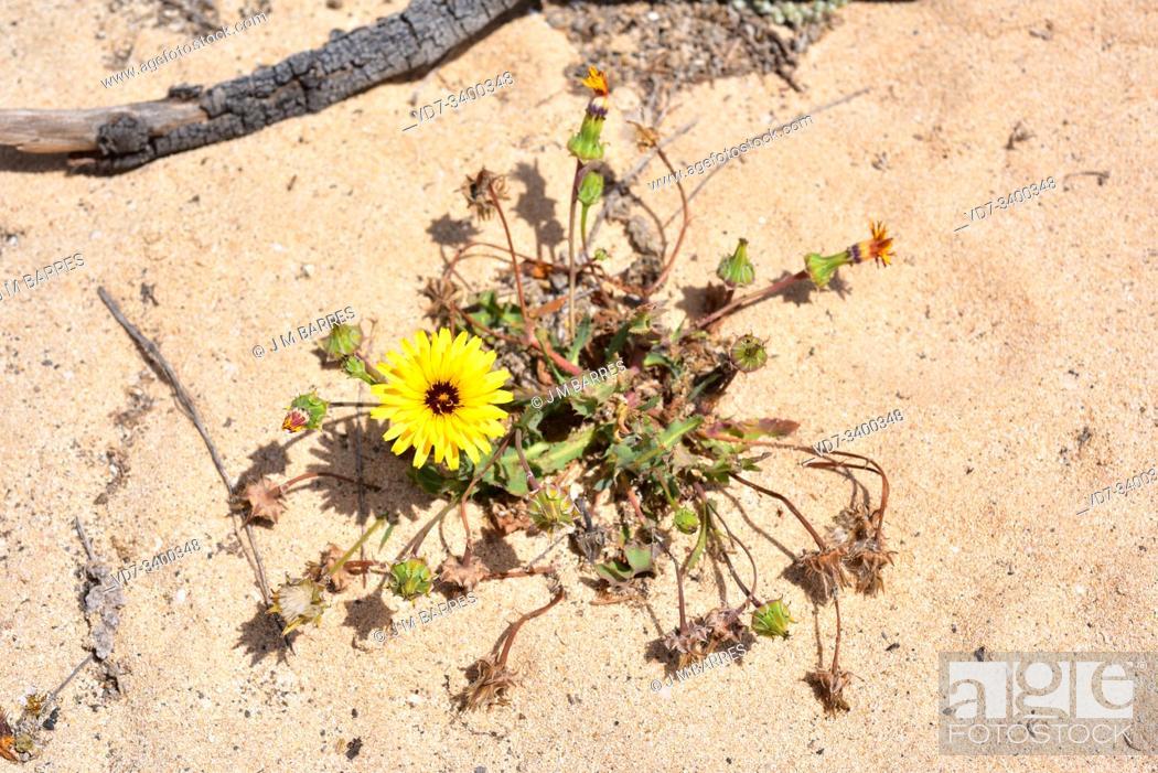 Stock Photo: False sowthistle (Reichardia tingitana) is an annual plant native to Canary Islands, Mediterranean region and western Asia.