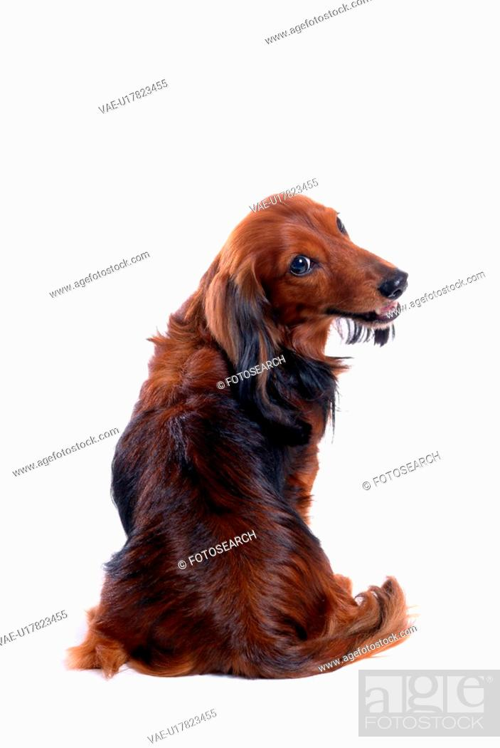 Stock Photo: canine, domestic animal, closeup, close up, looking back, dachshund.