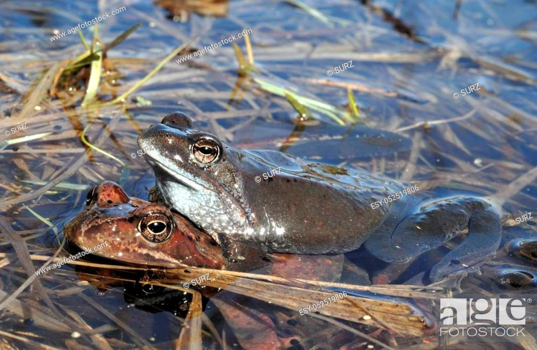 Stock Photo: Copulation of The common frog (Rana temporaria) mating, also known as the European common frog, European common brown frog, or European grass frog.
