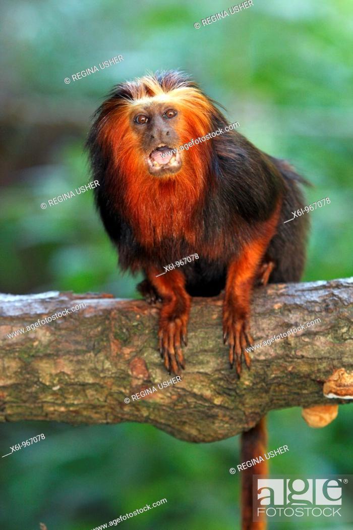 Stock Photo: Golden-headed Lion Tamarin Leontopithecus chrysomelas, portrait.