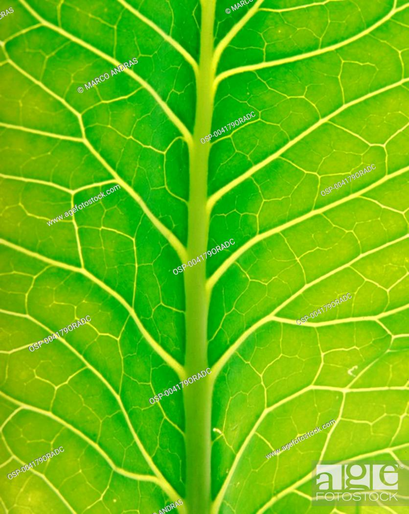 Stock Photo: a nutritive and green colewort kale leaf detail.