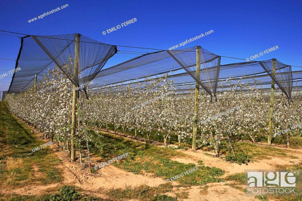 Stock Photo: Protective mesh, apple trees in bloom. Lleida province, Catalonia, Spain.