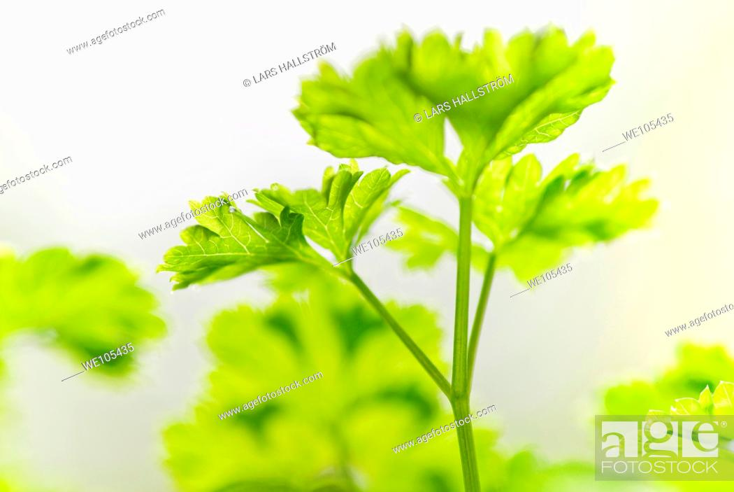 Stock Photo: Close-up of Parsley.