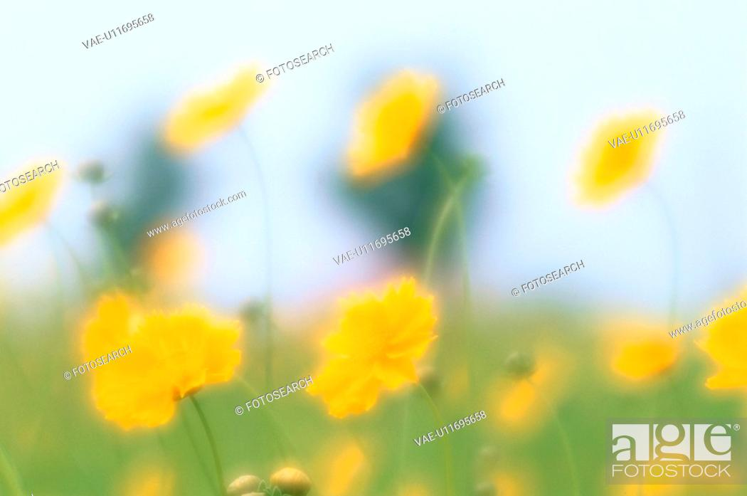 Stock Photo: Flowers Of Lanceleaf Tickseed.