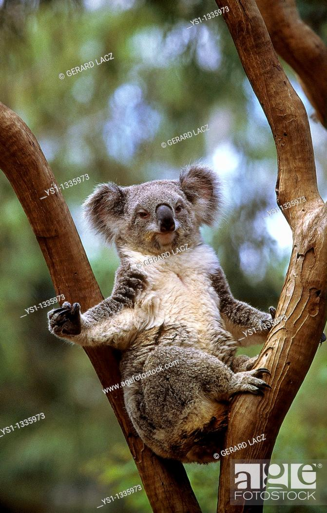 Stock Photo: KOALA phascolarctos cinereus, ADULT STANDING ON BRANCH, AUSTRALIA.