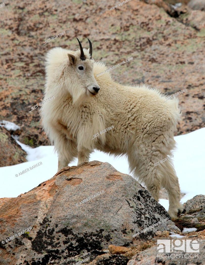Stock Photo: Billy Goat Nanny on a rock.