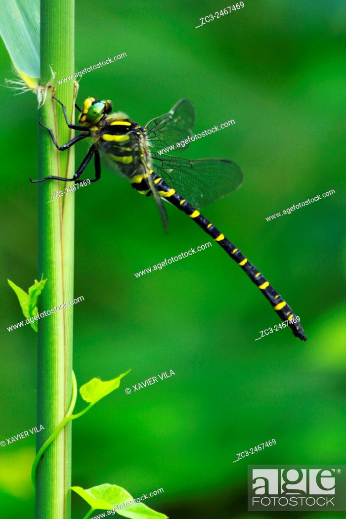 Stock Photo: Dragonfly Cordulegastre annele Cordulegaster boltonii, Ringed Cordulegastre Cordulegaster boltonii, Nature of the french Alps, Isere, Rhone Alpes, France.