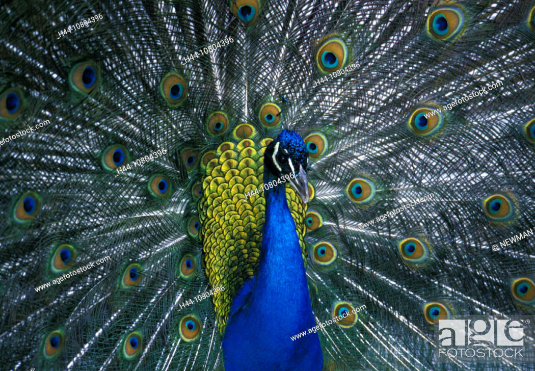 animal, animals, bird, birds, cock, courtship display