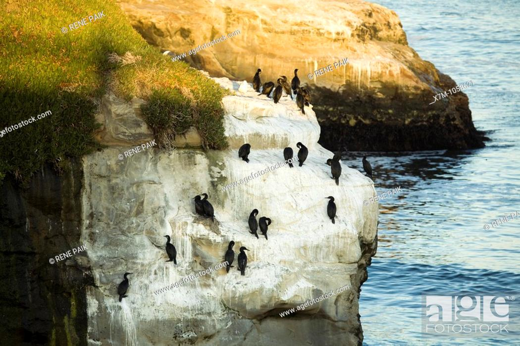 Stock Photo: Brandt's Cormorants roosting and nesting on a rocky sea cliff near a kelp forest adjacent to Natural Bridges State Beach, in Santa Cruz, California.