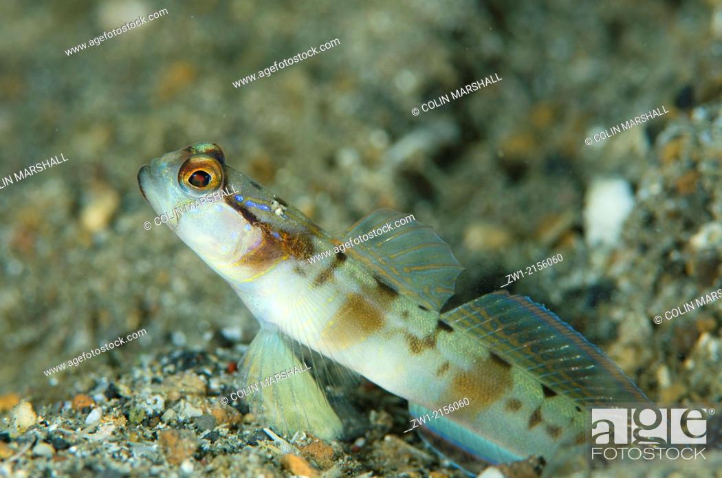 Stock Photo: Masked Shrimpgoby (Amblyeleotris gymnocephala) at hole entrance at Serena Besar dive site in Lembeh Straits in Sulawesi in Indonesia.