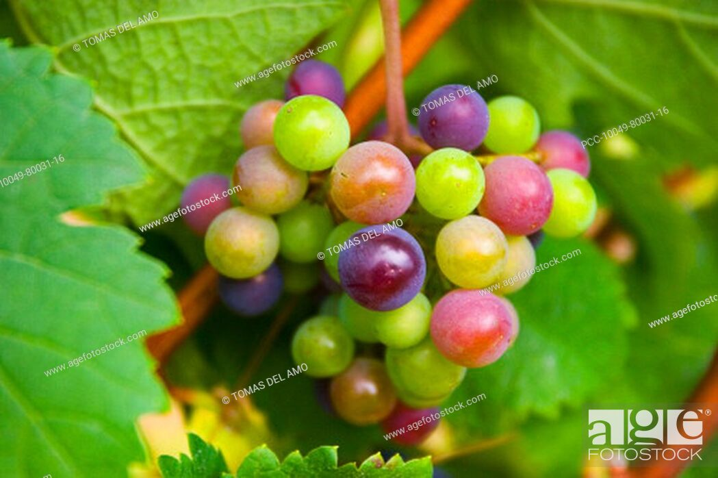 Stock Photo: Close-up of colorful green, red and purple grapes growing on the vine.