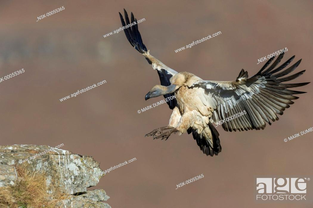 Imagen: Cape Vulture (Gyps coprotheres) landing on mountain ledge, South Arica, KwaZulu-Natal, Giants Castle Nature Reserve.