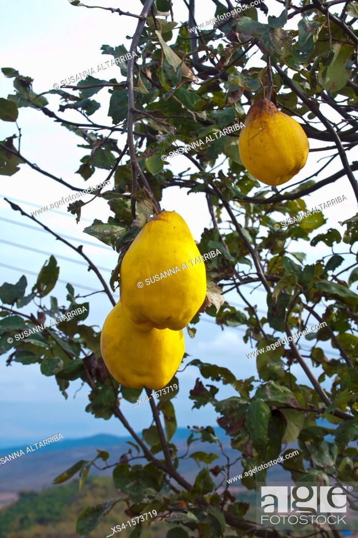 Imagen: Cydonia oblonga. Quince, photo take in Pinos, Lleida, Catalonia, Spain, Europe.
