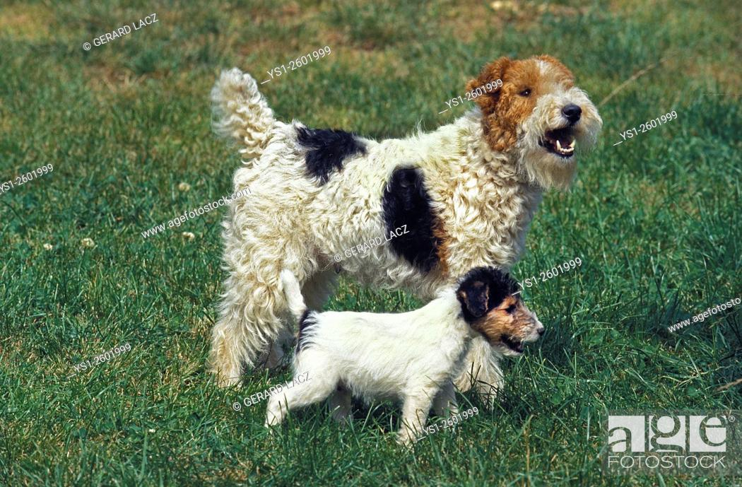 Stock Photo: Wire-Haired Fox Terrier, Mother and Pup.
