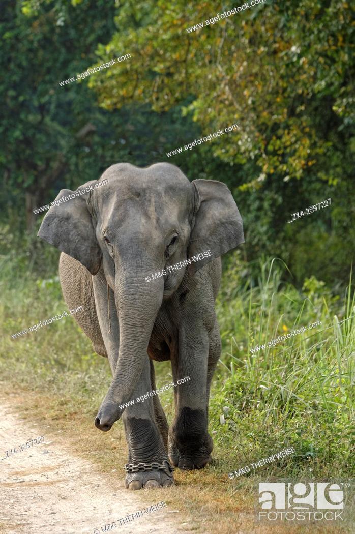 Stock Photo: Indian elephant (Elephas maximus indicus) on a dirt road, Kaziranga National Park, Assam, India.