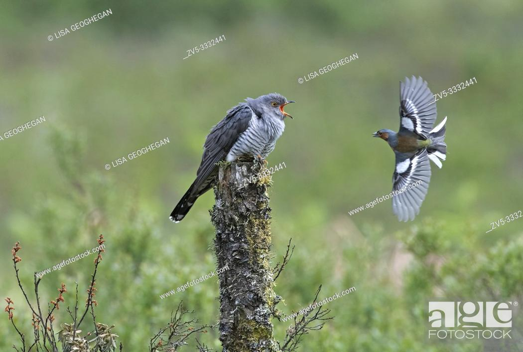 Stock Photo: Male Cuckoo-Cuculus canorus and Chaffinch-Fringilla coelebs fight.