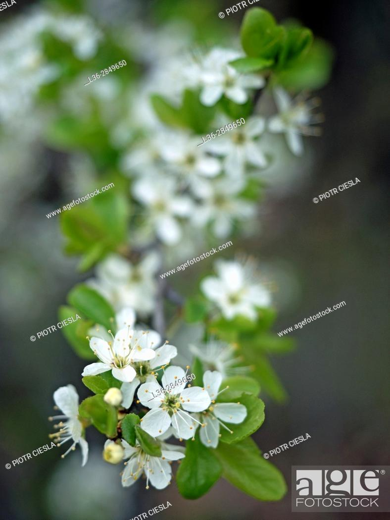 Stock Photo: Cherry flowers.
