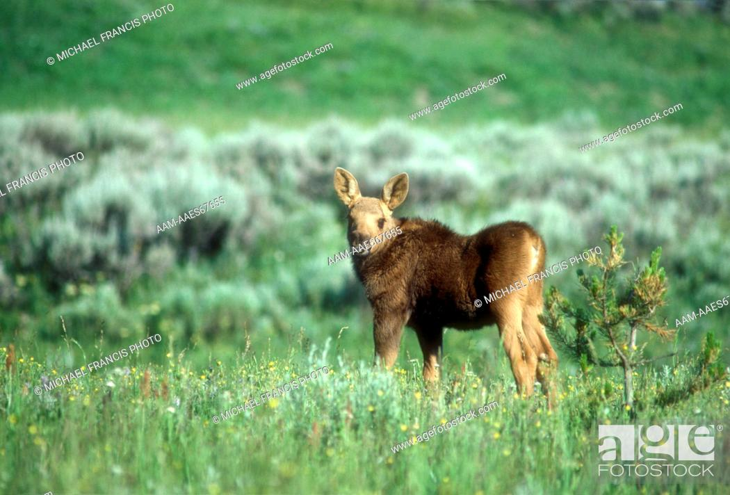 Stock Photo: Moose (A. alces shirasi) Calf in Flower Meadow, Yellowstone NP, Wyoming.