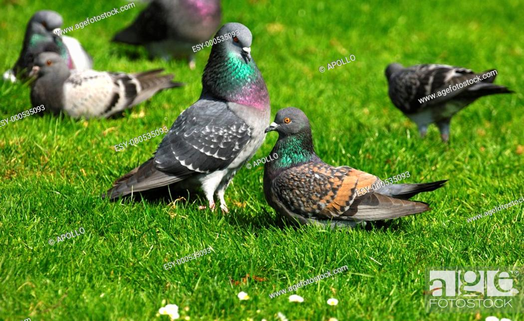 Stock Photo: Courtshiping city pigeons.
