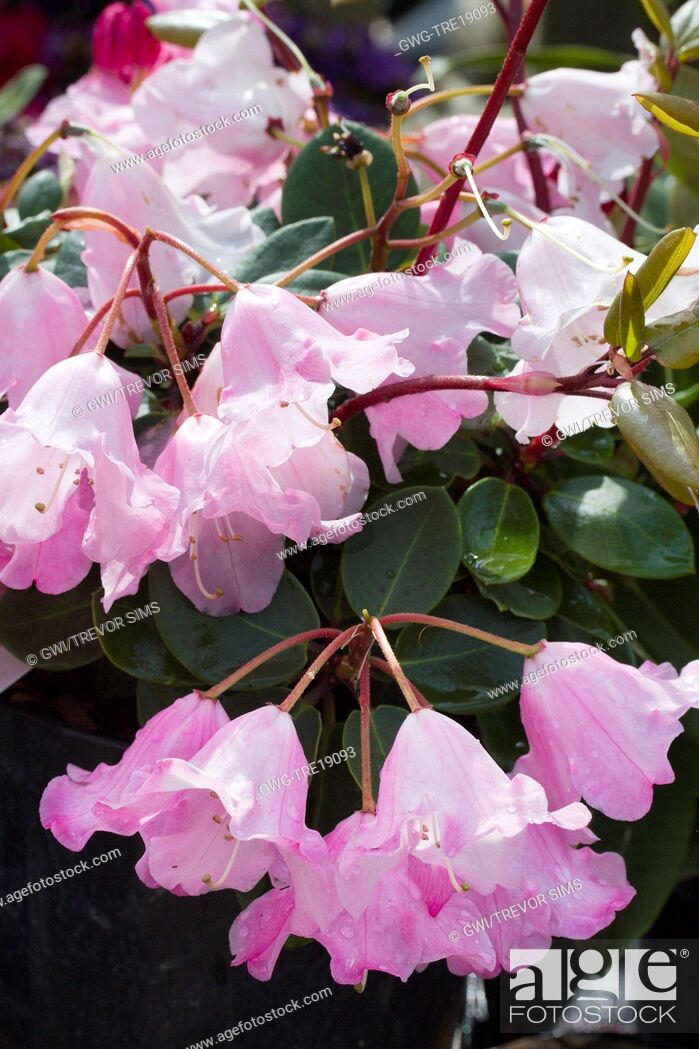 Stock Photo: RHODODENDRON 'BOW BELLS'.