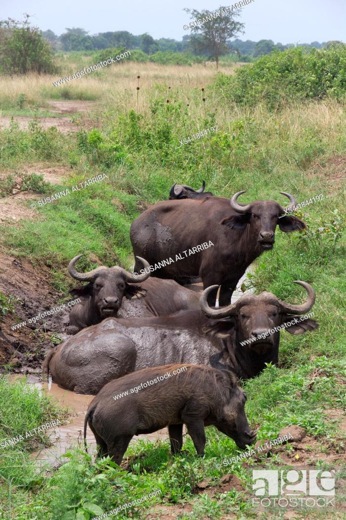 Stock Photo: African buffalo, Cape buffalo, Syncerus caffer. It is peculiar to South and East Africa, weighing up to 910 kg, notably tall in size and ferocity.