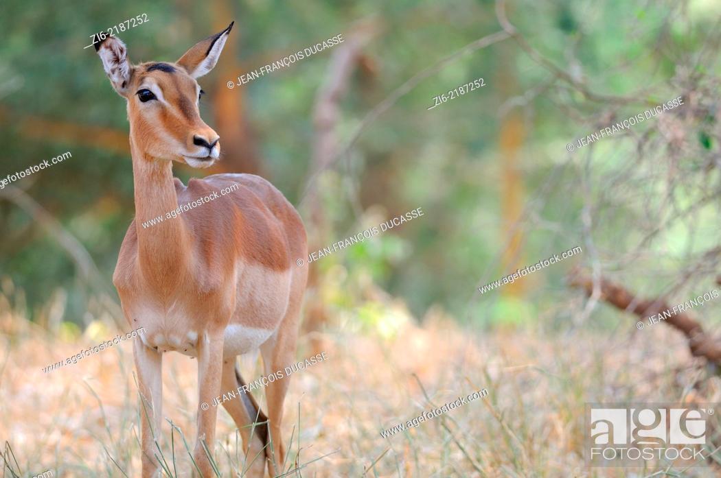 Stock Photo: Impala, (Aepyceros melampus), Kruger National Park, South Africa, Africa.