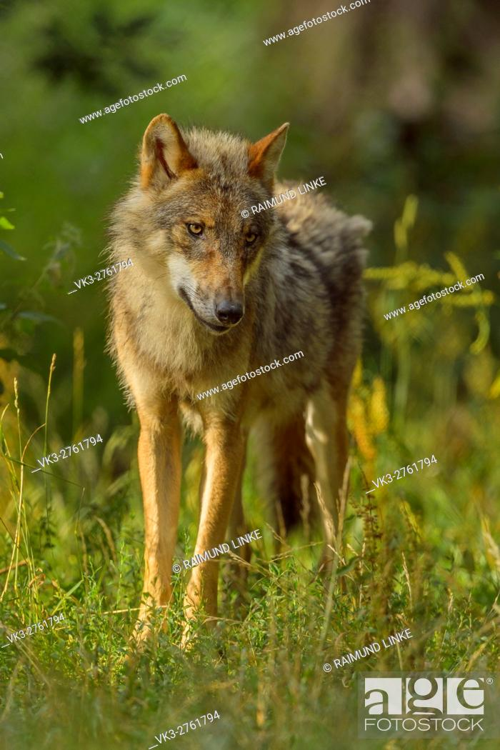 Stock Photo: European Gray Wolf, Canis lupus lupus, Germany.
