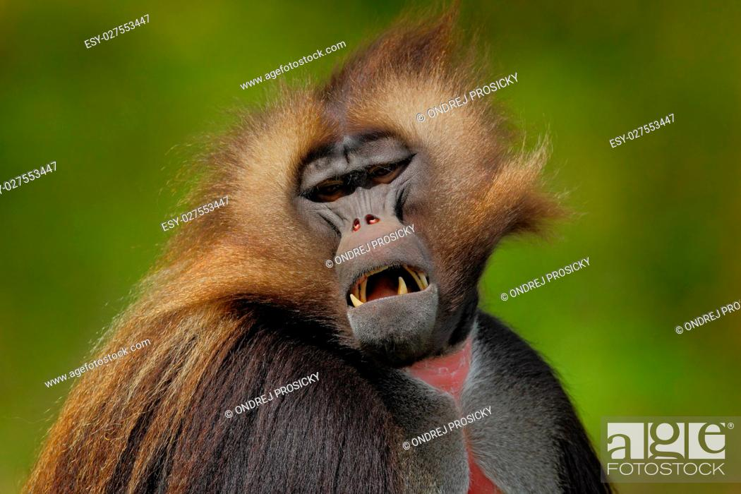 Stock Photo: monkey, Gelada Baboon.