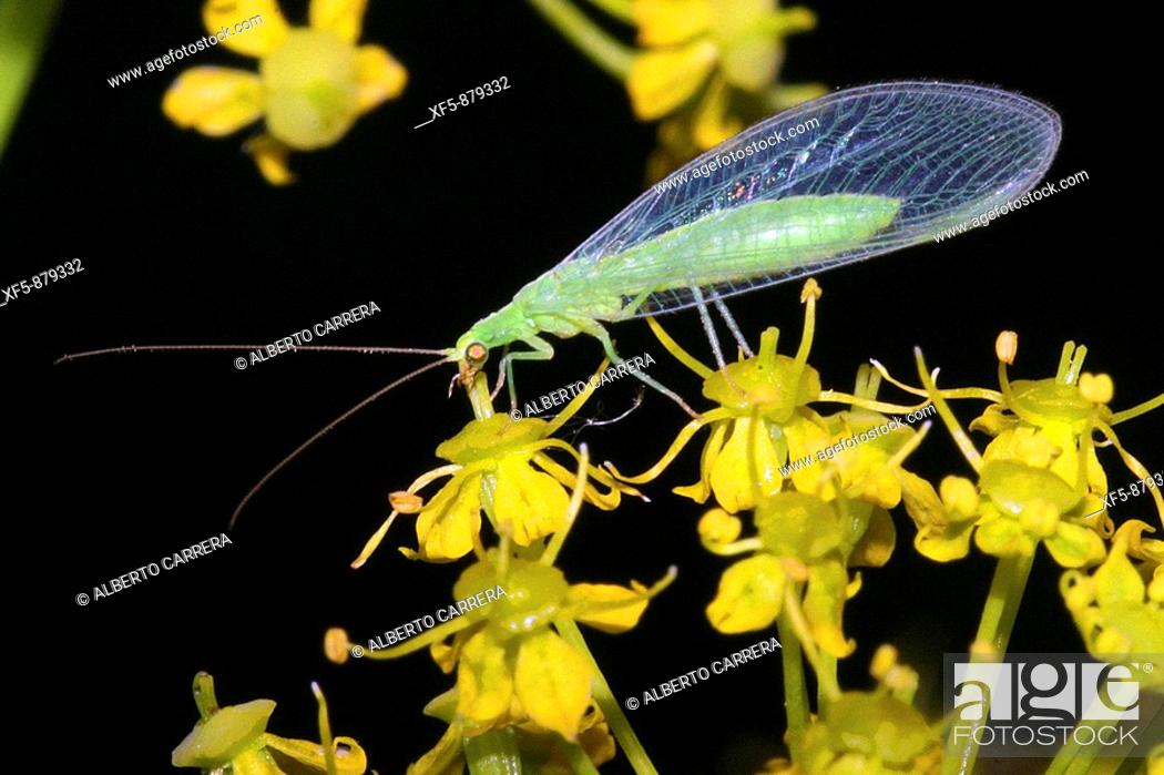 Stock Photo: Green lacewing, Chrysopa sp , Crisopa.