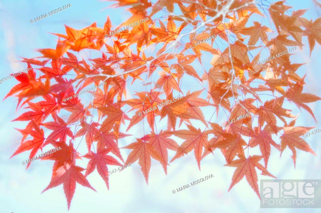 Stock Photo: Red maple leaves shot against blue sky (Acer palmatum). Maryland, USA.