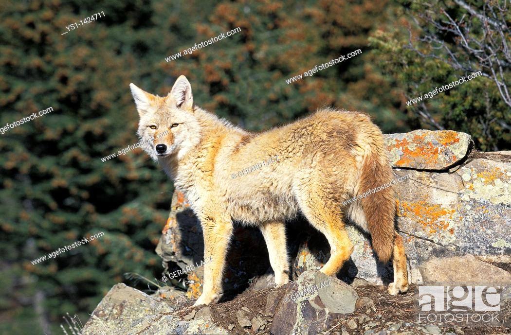 Stock Photo: COYOTE canis latrans, ADULT ON ROCK, MONTANA.