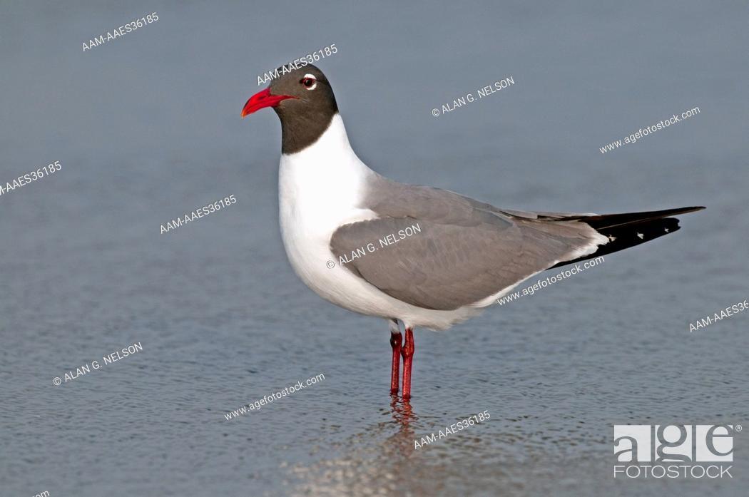 Stock Photo: Laughing Gull (Larus atricilla).