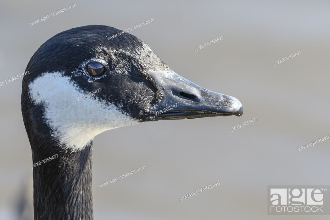 Stock Photo: Canada Goose, Branta canadiensis, Burnaby Lake Regional Park, Burnaby, British Columbia, Canada.