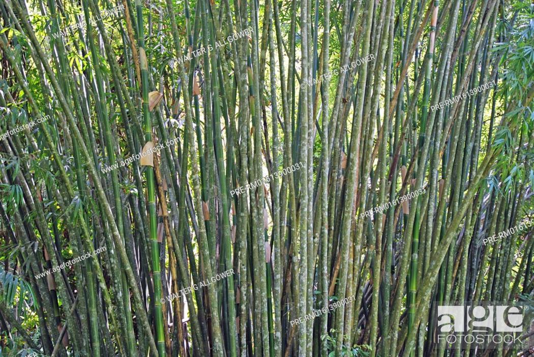 Stock Photo: Bamboo, Rainforest, Khao Sok National park, Thailand, Asia.