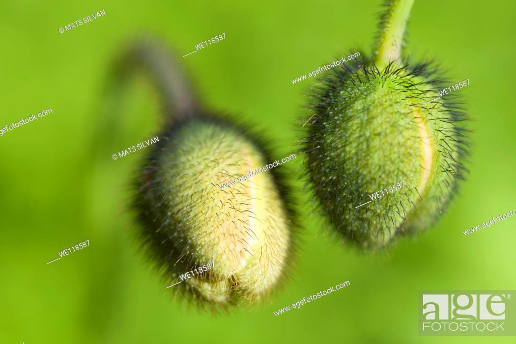 Stock Photo: Flower buds withz green background.