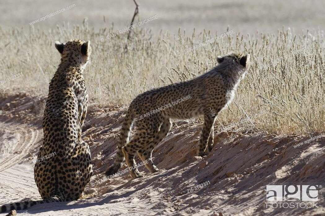 Imagen: Cheetahs (Acinonyx jubatus), adult female sitting with her standing baby, on a dirt road, alert, Kgalagadi Transfrontier Park, Northern Cape, South Africa.