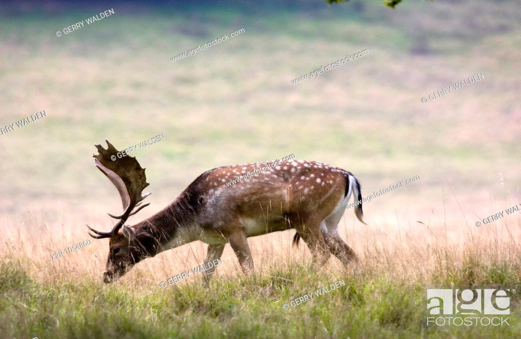 Stock Photo: Fallow deer buck dama dama with a fine set of antlers photographed in Petworth Park, Sussex within the South Downs National Park.