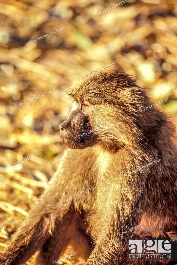 Stock Photo: male baboon.