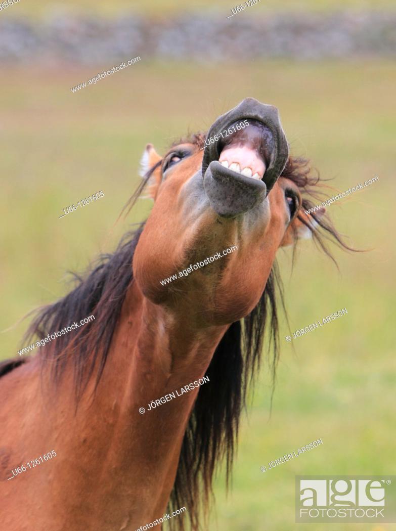 Stock Photo: Gotland pony  Gotland Sweden.