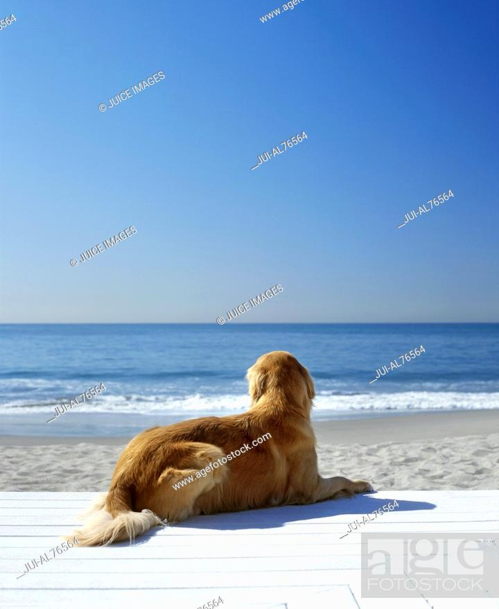 Stock Photo: Portrait of a golden retriever resting on the beach.