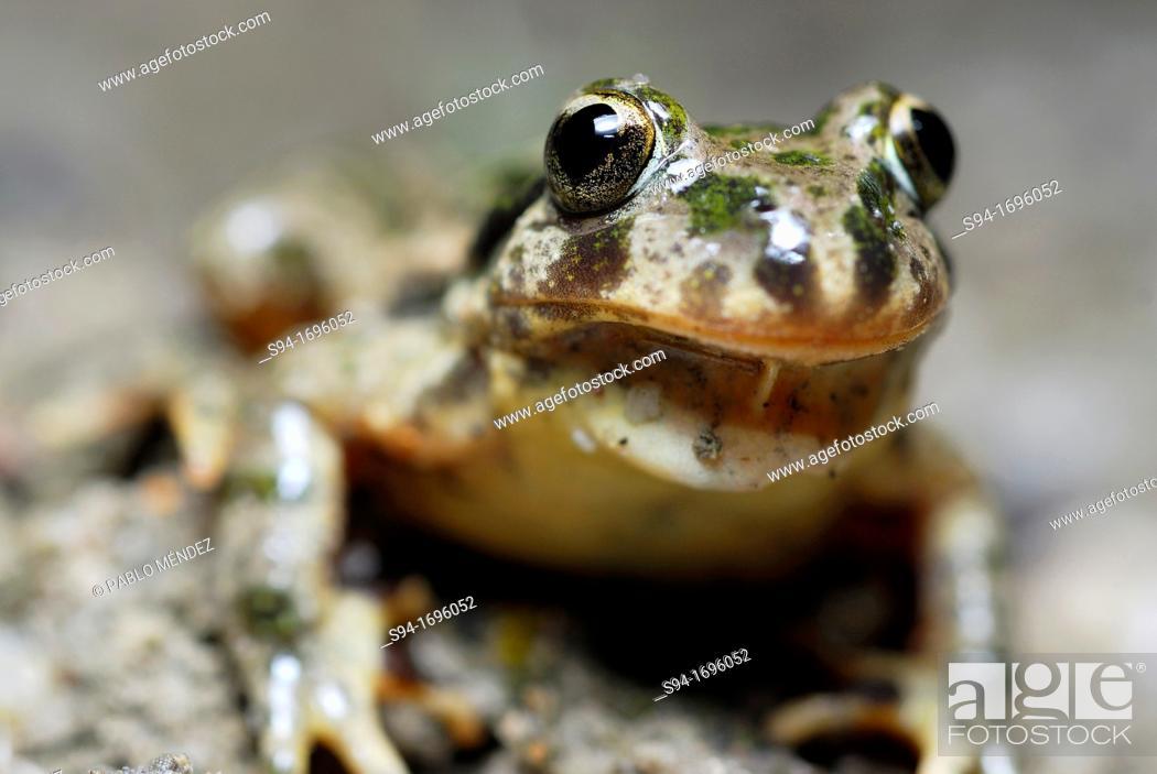 "Stock Photo: Parsley frog """"Pelodytes punctatus"""" or """"Pelodytes hespericus"""" near Rivas del Jarama, Madrid, Spain."