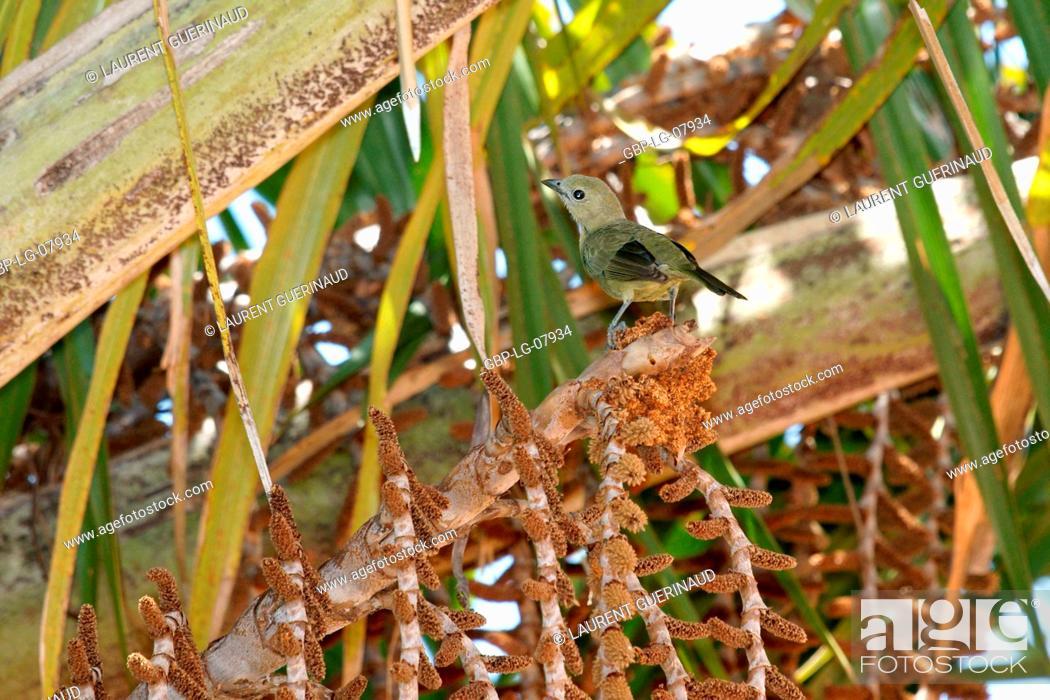 Stock Photo: Bird, Sanhaço coconut tree, Lençóis Maranhense, Lençois, Barreirinhas, Maranhão, Brazil.
