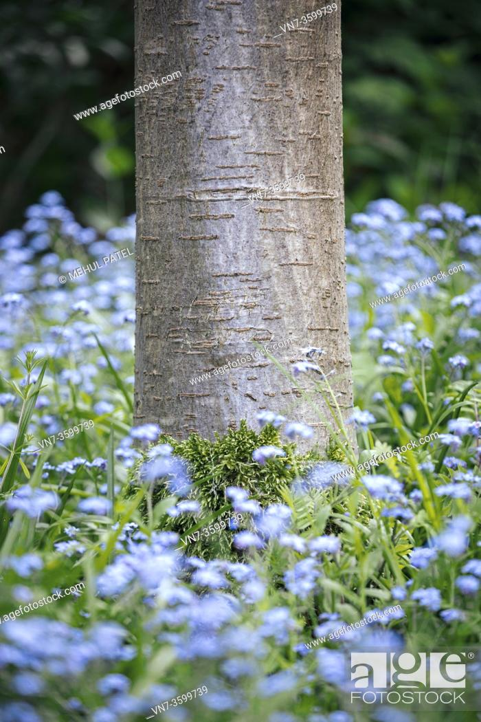 Stock Photo: Base of Cherry tree trunk with moss growth surrounded by foliage and blue forget-me-not (Myosotis) flowers.