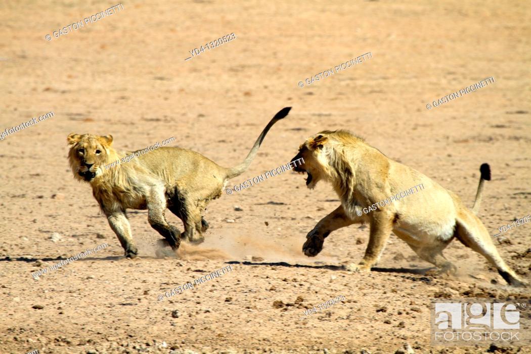 Stock Photo: African Lion Panthera leo - Young Males, fighting, Kgalagadi Transfrontier Park, Kalahari desert, South Africa.